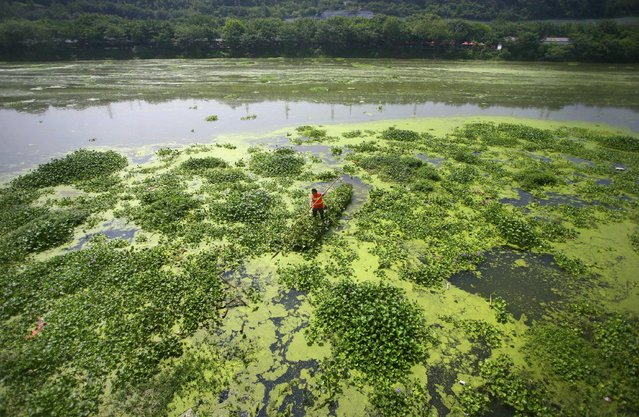 A worker rows a boat as he cleans the duckweeds on the surface of a river in Mianyang, Sichuan province, China, July 10, 2015. (Photo by Reuters/Stringer)
