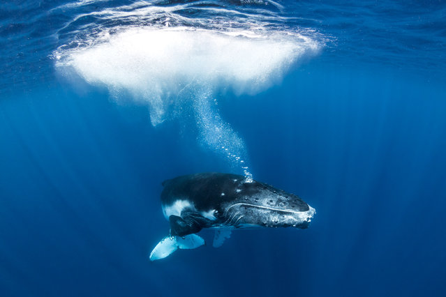 "The images were taken off the coast of Tonga in the South Pacific. Photographer Grant Thomas said: ""Through my images I aim to show off the amazing life we have on our planet in hope of inspiring more people to experience it for themselves and, most importantly, care for it. There is nothing to be afraid of with the humpback whales, as these animals are some of the most majestic and peaceful creatures in the sea. They will often be very curious of people in the water and will even seek out interactions with us"". (Photos by Grant Thomas/Caters News Agency)"