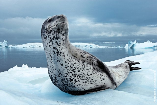 The sea leopard. The Antarctic Peninsula