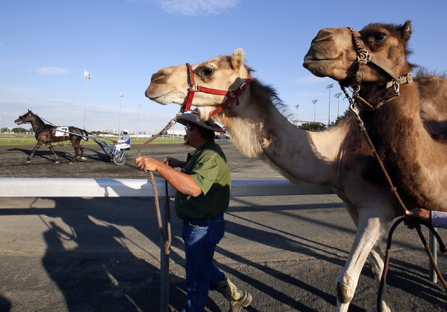 """Two camels are exercised by handler Monte McClurg as a harnessed race horse (L, background) runs past before an exhibition race billed as """"The Cameltonian"""", at the Meadowlands Race Track in East Rutherford, New Jersey, June 21, 2014. Run by Hedrick's Promotions in Nickerson, Kansas, this is the third year the race has been run at the harness racetrack, in tandem with an ostrich race. (Photo by Ray Stubblebine/Reuters)"""