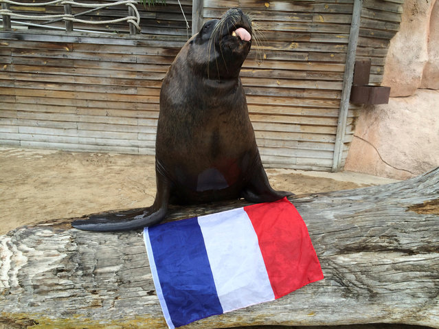 Watson the sea-lion poses with a French flag at the Amneville Zoo near Metz, France, June 20, 2014, in this handout photo provided by the zoo on June 10, 2016. (Photo by Reuters/Zoo Amneville)
