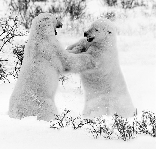 Undated David Yarrow handout photo of polar bears as the self-taught wildlife photographer promotes his book, Encounter. (Photo by David Yarrow/Clearview/PA Wire)