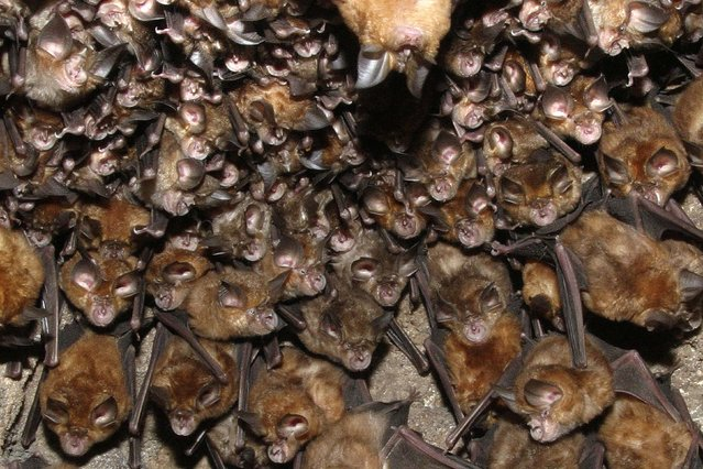 A huge group of great Indian horseshoe bats nesting in Bandhavgarh NP, India. (Photo by M. Watson/Ardea/Caters News)