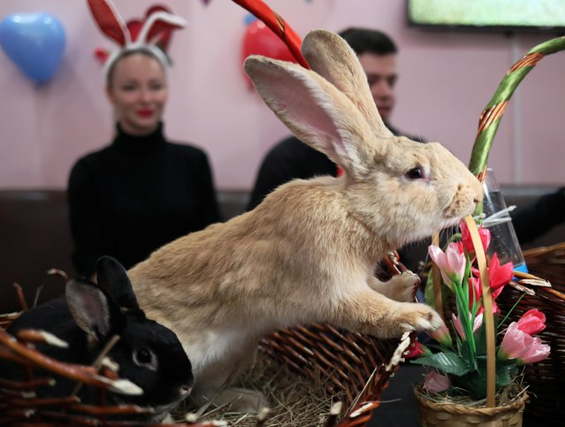 Rabbits sit in a basket at a rabbit cafe on Valentine's Day in Moscow, Russia on February 14, 2020. (Photo by Evgenia Novozhenina/Reuters)