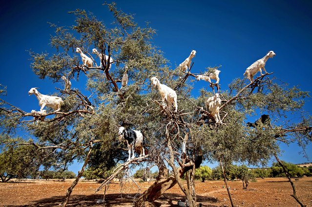 These goats threw caution to the wind and scaled this Argan tree right to the very top, even balancing on the most unsturdy of branches. It looks like a bit of a baa-lancing act, but the goats hooves are perfectly adapted to climbing the trees, where they graze on the Argan fruit. Amateur photographer Burak Senbak, 51, took these photos whilst travelling through Morocco in July 2016. Burak is originally from Turkey and works as a mechanical engineer, but has pursued his passion for photography for 10 years. Intrigued by the sight of goats in a tree, Burak couldnt resist the opportunity to take some photos, and said the goats proved a perfect subject. (Photo by Burak Senbak/Caters News)