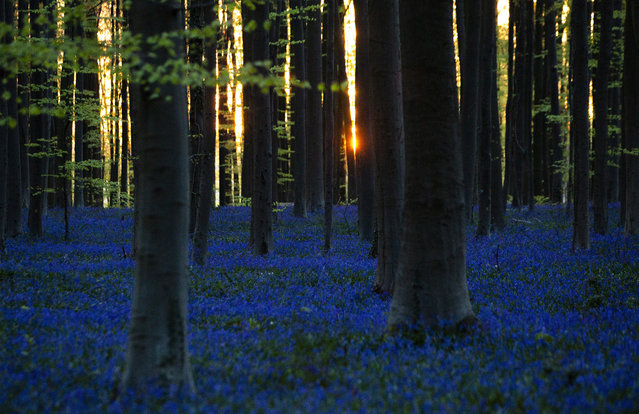 The sun begins to rise through trees as Bluebells, also known as wild Hyacinth, bloom in the Hallerbos forest in Halle, Belgium, on Thursday, April 16, 2020. Bluebells are particularly associated with ancient woodland where it can dominate the forest floor to produce carpets of violet–blue flowers. (Photo by Virginia Mayo/AP Photo)