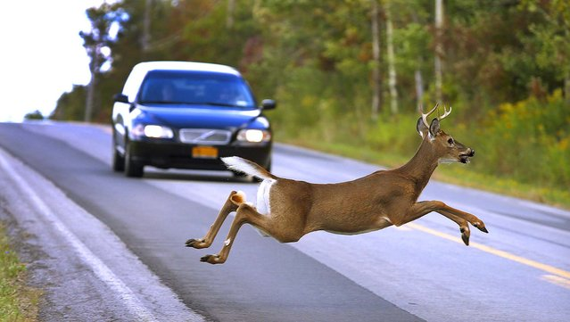 A motorist brakes to stop as a buck leaps across Mill Road in East Aurora, New York, on September 23, 2012. (Photo by Robert Kirkham/Buffalo News)