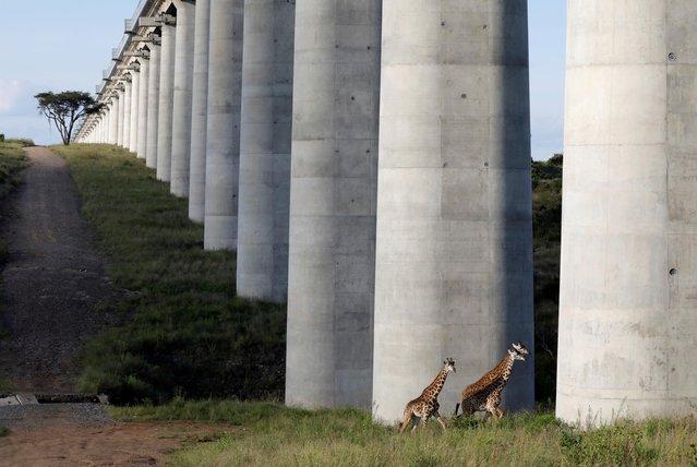 Giraffes cross under the bridge of the Standard Gauge Railway (SGR) line inside the Nairobi National Park in Nairobi, Kenya, May 25, 2020. (Photo by Baz Ratner/Reuters)