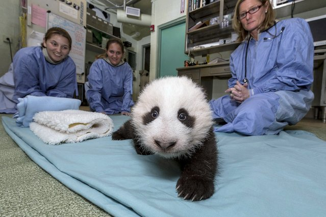 San Diego Zoo veterinarians look on as the Zoo's 11-week-old giant panda cub takes baby steps during a morning veterinary examination at the zoo, in this publicity photograph released October 18, 2012. (Photo by Ken Bohn/San Diego Zoo/Zoological Society of San Diego/Reuters)