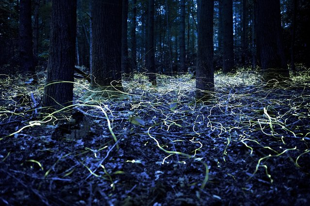 """Searching for Love"". Blue Ghost Fireflies in Brevard, North Carolina. Blue Ghost fireflies are unique because they stay lit and only hover about a foot off the ground. Photo location: Brevard, North Carolina. (Photo and caption by Spencer Black/National Geographic Photo Contest)"