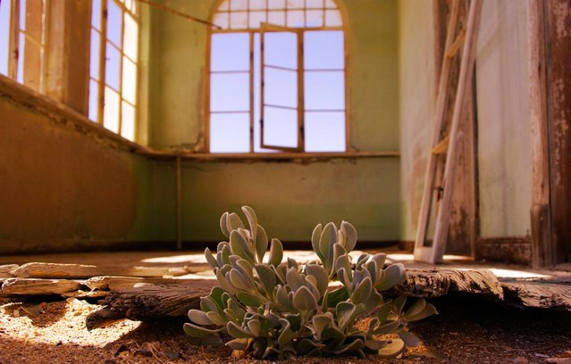 """Striving Succulent"". Kolmanskop Ghost Town, Namibia: Striving succulent by Kelsey Green. (Photo and caption by Kelsey Green/UK Society of Biology Photography Award 2014)"