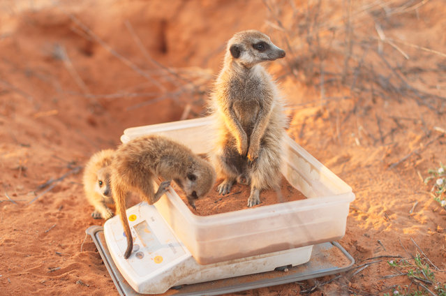 Ecology in action category winner: Dominic Cram. Meerkat morning weights. (Photo by Dominic Cram/University of Cambridge/British Ecological Society)