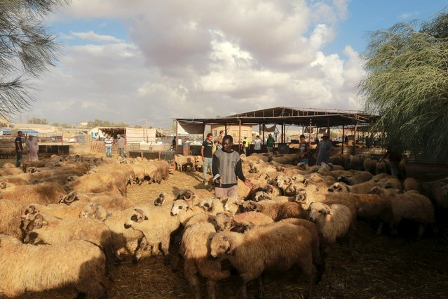 People buy sheep at a livestock market, ahead of Eid al-Adha, in Benghazi, September 22, 2015. (Photo by Esam Omran Al-Fetori/Reuters)
