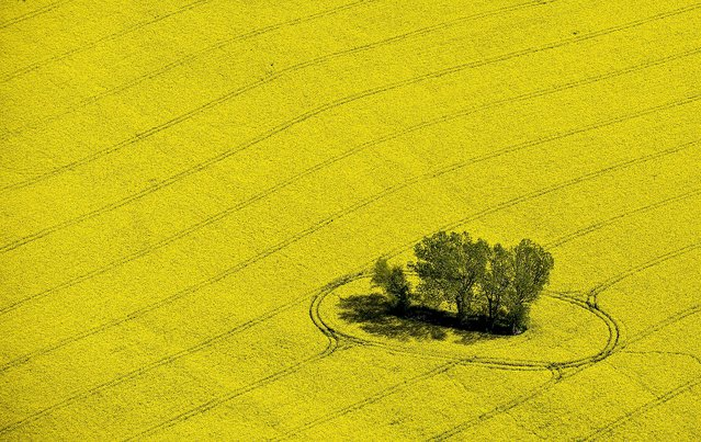 A small group of trees stand in a yellow blooming rape field near Muencheberg, Germany, on March 29, 2014. (Photo by Patrick Pleul/DPA)