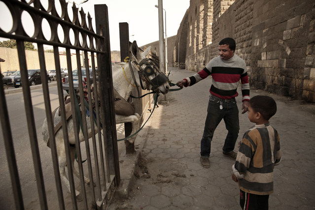 In this Saturday, March 8, 2014 photo, a man who sells plastic house wares from the back of a donkey cart leads his donkey to a makeshift barbershop for a haircut by donkey barber Mohamed Mustafa and his five year-old son, Mustafa, right, in Cairo, Egypt. (Photo by Maya Alleruzzo/AP Photo)