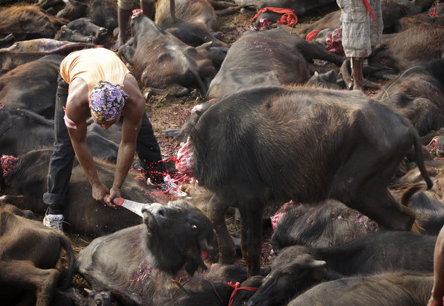 Every five years, the world's largest animal sacrifice takes place at the Gadhimai Temple in Nepal. The month-long festival has raised controversy due to the large number of animals killed – up to 500,000 over two days. This year, Humane Society International (HSI) successfully petitioned India's Supreme Court to stop animals at the border. In coordination with Animal Welfare Network Nepal, HSI sent a delegation to patrol the site and confiscate any animals brought in illegally. (Photo by Kuni Takahashi/AP Images for Humane Society International)
