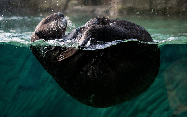 A 7-month-old female sea otter that was found stranded in Alaska swims at the Vancouver Aquarium in Vancouver,  British Columbia, on Friday March 22, 2013. The otter was flown to Vancouver this week and unveiled to the public Friday. The aquarium has asked the public to vote on three possible names for the baby otter – Susitna, Katmai or Glacier. (Photo by Darryl Dyck/AP Photo/The Canadian Press)