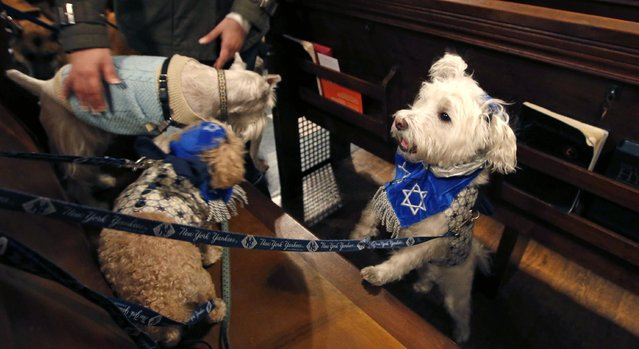 Lukas, right, wearing a yarmulke and tallis with a Jewish star plays in a pew with Buttercup, center, and another dog during the 6th annual Blessing of the Animals at Christ Church of Manhattan in New York, Sunday, December 7, 2014. (Photo by Kathy Willens/AP Photo)