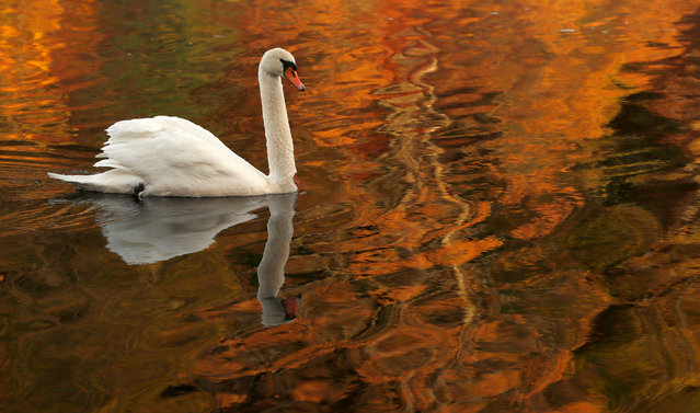 A swan paddles through the reflected autumnal colours on Loch Faskally Pitlochry, Scotland, Britain on November 8, 2017. (Photo by Russell Cheyne/Reuters)