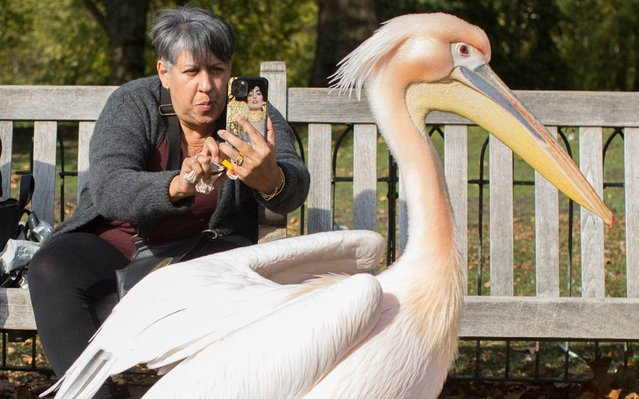 Members of the public are given some company by a handful of pelicans in St James's Park, London, United Kingdom on October 18, 2020. Pelicans have been a feature of the park since a Russian ambassador donated them to Charles II in 1664. (Photo by Rick Findler/The Telegraph)