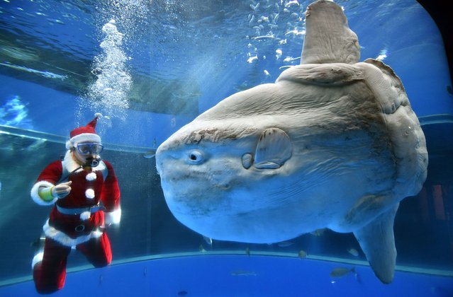 A diver wearing a Santa Claus costume feeds a sunfish to attract visitors at the Hakkeijima Sea Paradise aquarium in Yokohama, suburban Tokyo on December 17, 2014. Christmas attractions will be held till Christmas Day. (Photo by Yoshikazu Tsuno/AFP Photo)