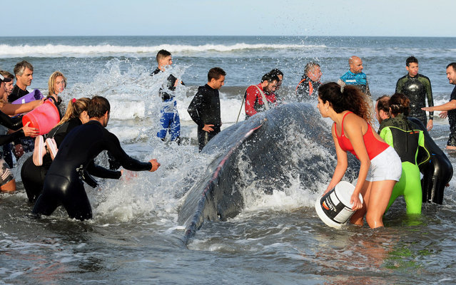 Volunteers and security forces attempt to help a humpback whale stranded at Punta Mogotes beach in Mar de Plata, Argentina, April 9, 2018. (Photo by Reuters/Stringer)