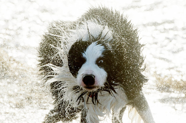 Border Collie Mumpitz shakes himself after taking a bath in the North Sea at the beach in Hedehusum on the island of Foehr, Germany, Friday, January 2, 2015. (Photo by Maurizio Gambarini/AP Photo/DPA)