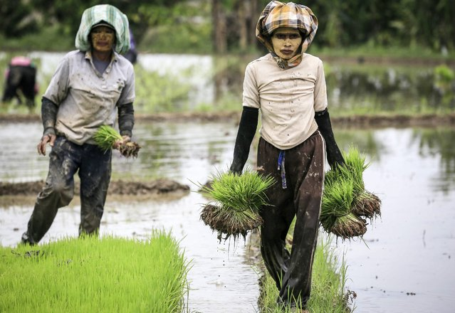Indonesian farmers work on a paddy field in Beraskata village, Deli Serdang, North Sumatra, Indonesia, 04 October 2016. According to the statistics bureau, Indonesia's annual inflation in September rose by 3.07 percent from last year. (Photo by Dedi Sinuhaji/EPA)