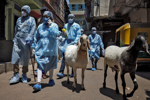 Health workers wearing protective gear walk past sheep as they arrive to conduct a door-to-door verification of people to find out if they have developed any coronavirus disease (COVID-19) symptoms, in a residential area in Ahmedabad, India, April 23, 2020. (Photo by Amit Dave/Reuters)