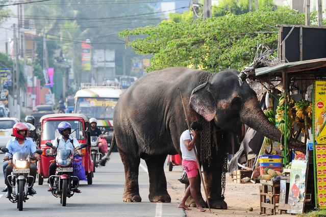 A Sri Lankan elephant, accompanied by his mahout, browse through a roadside fruit stall in Colombo on January 19, 2015. The Sri Lankan elephant is listed as endangered by the International Union for Conservation of Nature (IUCN) as the population has declined by at least 50 percent over the last three generations, with the species threatened by habitat loss, degradation and fragmentation. (Photo by Lakruwan Wanniarachchi/AFP Photo)