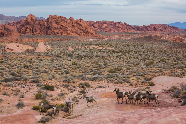 Animals walk after sunrise in the Valley of Fire State Park on October 18, 2017 in Clark County, Nevada. (Photo by Adam Gray/Barcroft Images)