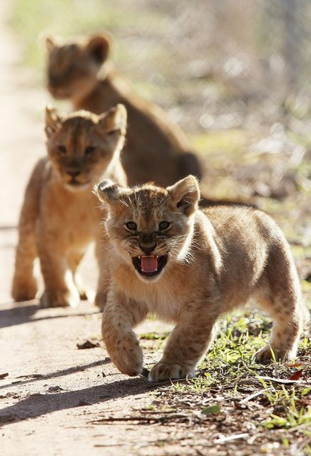 Three lion cubs explore their enclosure at Monarto Zoo on July 8, 2013 in Adelaide, Australia. (Photo by Getty Images)