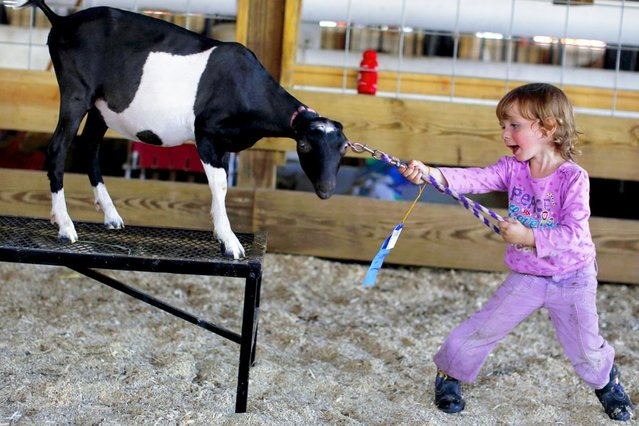 Gabriella Chapman attempts to run Christa the goat through the 4-H obstacle course during the Cattaraugus County Fair in Little Valley, New York, on August 2, 2013. (Photo by Brendan McDermid/Reuters)