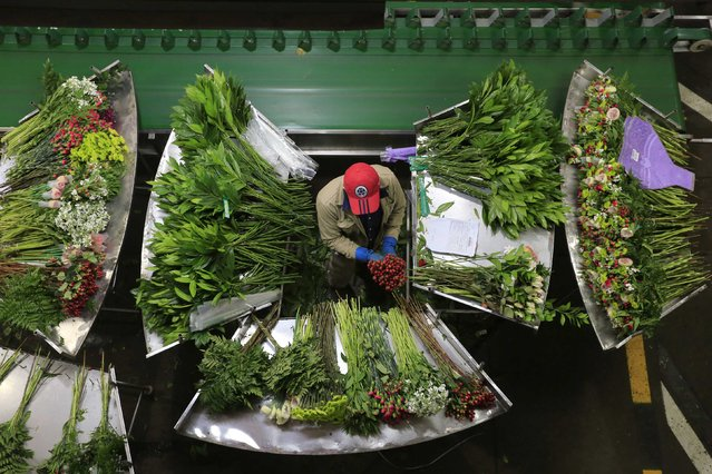 A Colombian flower grower organizes bouquets ahead of Valentine's Day in Facatativa, January 29, 2015. (Photo by John Vizcaino/Reuters)