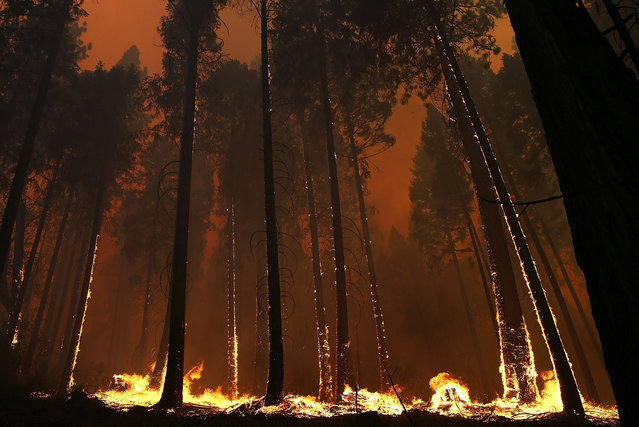 Fire consumes trees along US highway 120 as the Rim Fire burns out of control on August 21, 2013 in Buck Meadows, California. The Rim Fire continues to burn out of control and threatens 2,500 homes outside of Yosemite National Park. Over 400 firefighters are battling the blaze that is only 5 percent contained. (Photo by Justin Sullivan/AFP Photo)