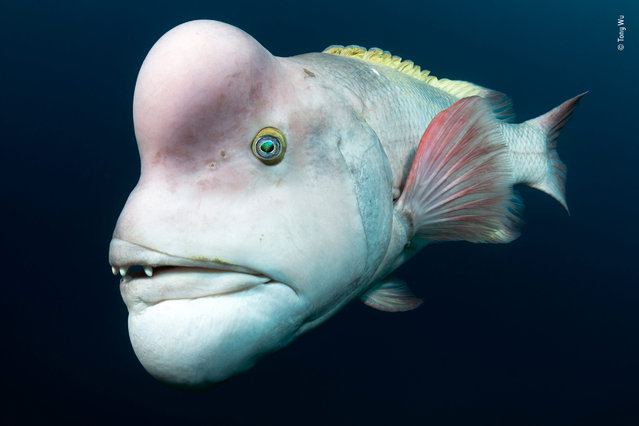 "Looking for love by Tony Wu, USA. Highly commended, Animal Portraits. ""Accentuating his mature appearance with pastel colours, protruding lips and an outstanding pink forehead, this Asian sheepshead wrasse sets out to impress females and see off rivals, which he will head-butt and bite, near Japan's remote Sado Island. Individuals start out as females, and when they reach a certain age and size – up to a metre (more than 3 feet) long – can transform into males. Long-lived and slow-growing, the species is intrinsically vulnerable to overfishing"". (Photo by Tony Wu/2018 Wildlife Photographer of the Year)"