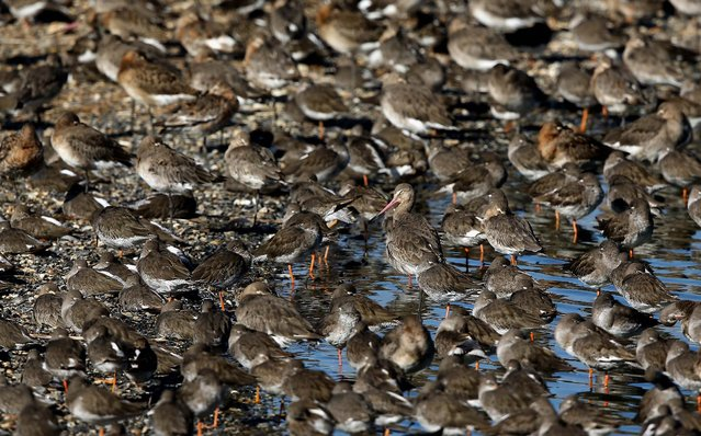 Godwit and other waders gather after seeking new feeding grounds during the incoming tide. (Photo by Dan Kitwood/Getty Images via The Palm Beach Post)