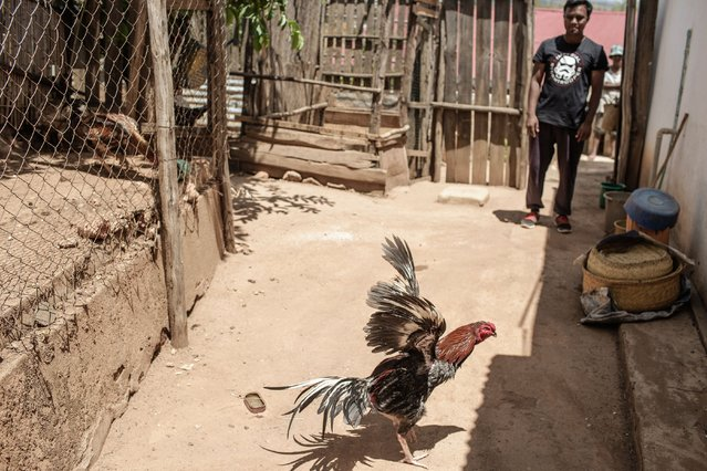 Fighting cock belonging to owner and trainer Ravoavy Lovatahina (R) roams in the bakcyard of his house on November 25, 2016 on the outskirts on Antananarivo, Madagascar. Cockfighting is held during the week end and is a tradition with asian roots still practiced in Madagascar. (Photo by Gianluigi Guercia/AFP Photo)