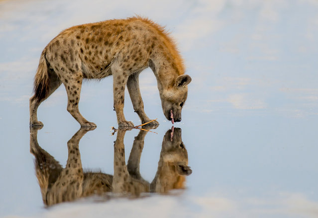 A hyena kisses his own reflection while appearing to walk on water. (Photo by Jake De Wet/Caters News Agency)