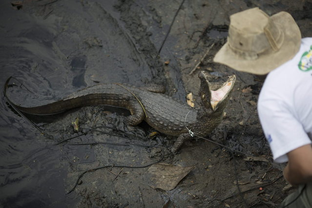 In this October 14, 2013 photo, ecology professor Ricardo Freitas catches a broad-snouted caiman to examine, then release back into the water channel in the affluent Recreio dos Bandeirantes suburb of Rio de Janeiro, Brazil. (Photo by Felipe Dana/AP Photo)