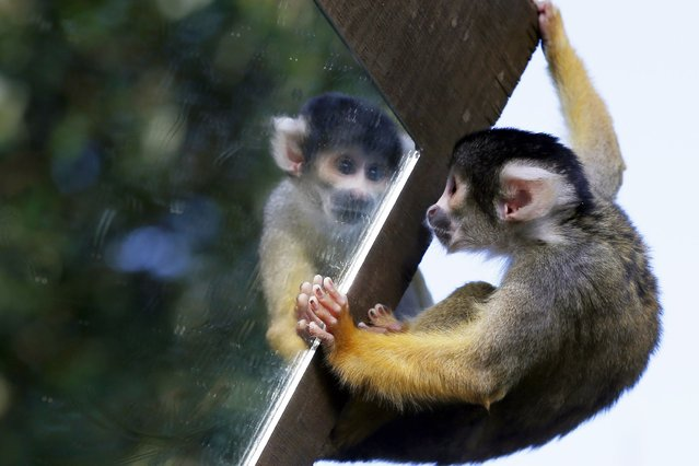 A squirrel monkey looks in a mirror at the London Zoo, on Oktober 24, 2013. (Photo by Adrian Dennis/AFP Photo)