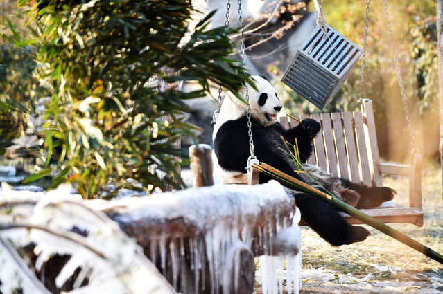 A giant panda relaxes among frozen bamboo at a wildlife park in Jinan, China on January 5, 2019. (Photo by Wang Kai/Xinhua News Agency/Barcroft Images)