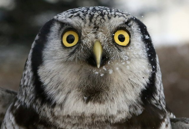 Marusya, a Northern hawk-owl, is seen during a training session which is a part of Royev Ruchey zoo's programme of taming wild animals for research, and for enlightenment and interaction with visitors, in the Siberian taiga forest in the suburb of Krasnoyarsk, Russia January 10, 2017. (Photo by Ilya Naymushin/Reuters)