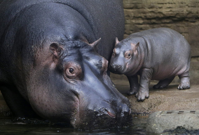A baby hippo stands near its mother Maruska in their enclosure at Prague Zoo, Czech Republic, February 24, 2016. (Photo by David W. Cerny/Reuters)