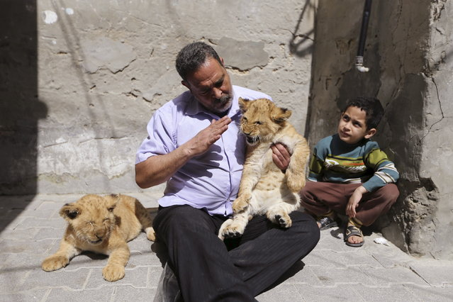 The grandson of Palestinian refugee Saad Eldeen Al-Jamal watches as his grandfather sits with his African two lion cubs outside his house at Al-Shabora refugee camp in Rafah in the southern Gaza Strip March 19, 2015. It's believed the parents of the cubs were smuggled into Gaza through a tunnel along the border with Egypt nearly three years ago. (Photo by Ibraheem Abu Mustafa/Reuters)
