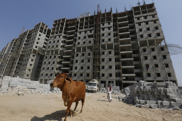A man walks his cow in front of residential buildings under construction on the outskirts of Ahmedabad, India, February 29, 2016. (Photo by Amit Dave/Reuters)