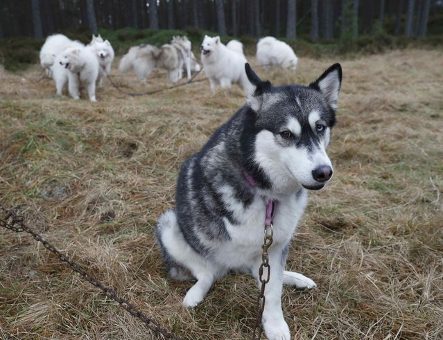 A Husky dog with a missing leg waits to run during practice for the Aviemore Sled Dog Rally in Feshiebridge, Scotland, Britain January 24, 2017. (Photo by Russell Cheyne/Reuters)