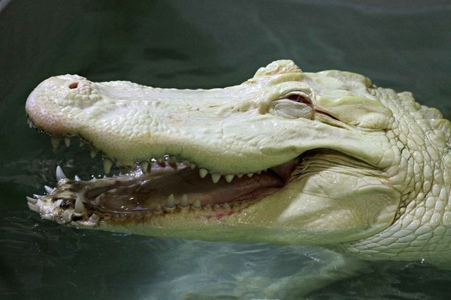 An albino crocodile swims in its enclosure in the Crocodile zoo in Protivin, Czech Republic, on August 16, 2013. The Crocodile zoo is the only zoo in Europe having a pair of the rare species. (Photo by Radek Mica/AFP Photo)