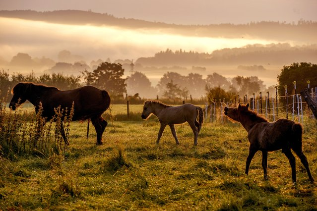 Icelandic horses play in their paddock at a stud farm in Wehrheim near Frankfurt, Germany, as  a mist rolls in on Thursday, August 5, 2021. (Photo by Michael Probst/AP Photo)