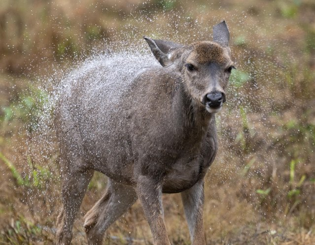 A wild black-tailed deer shakes off rainwater while feeding in a roadside clearing near Elkton in rural western Oregon on September 27, 2021. The National Weather Service is calling for rain showers for the area through Tuesday. (Photo by Robin Loznak/ZUMA Press Wire/Rex Features/Shutterstock)